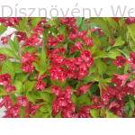 Bristol Ruby rózsalonc virágok, levelk