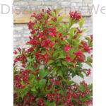 Bristol Ruby rózsalonc habitus