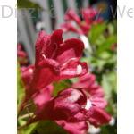 Bristol Ruby rózsalonc virág