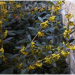Júlia borbolya szár, virág