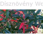 Júlia borbolya téli színesedett levelekkel