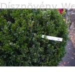 Bukszus (örökzöld puszpáng) kapható nagy méretben (80-100 cm)