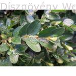 Bukszus (örökzöld puszpáng) télen, fagyban