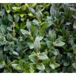 Bukszus (örökzöld puszpáng) levelek