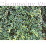 Coral Beauty madárbirs termésképzés