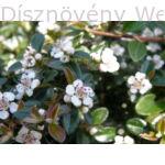 Skogholm madárbirs virágzásban