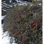 Skogholm madárbirs rézsűben télen