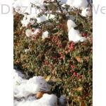 Skogholm madárbirs télen