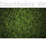 Télizöld vagy széleslevelű fagyalsövény
