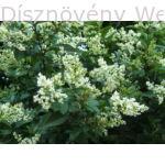 Télizöld vagy széleslevelű fagyal virágok
