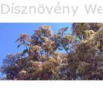 Kerti korallberkenye virágzás