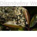 Kerti korallberkenye virág, visszazöldülő levél