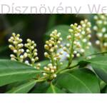 Caucasica babérmeggy bimbózó virág