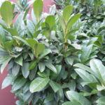 Cippora babérmeggy habitus