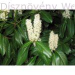 Magnólialevelű babérmeggy virág