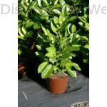 Rotundifolia babérmeggy konténerben
