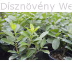Rotundifolia babérmeggy termesztőhelyen