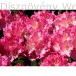 Havasszépe Kalinka sötétrózsaszín virágú