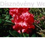Havasszépe Markeeta's Price piros virágú