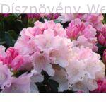 Havasszépe Dreamland rózsaszín virágú