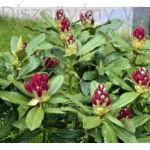 Havasszépe bimbózó piros virágú