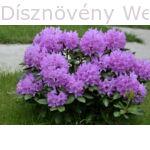 Havasszépe rózsaszín virágú