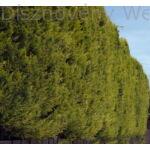 Arany leyland ciprus sövény