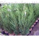 Green Rocket oszlopos leyland ciprus konténerben