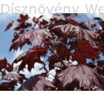 Crimson King vérjuhar karmazsin levelei