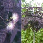 Bordólevelű selyemakác virág, habitus