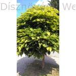 Gömb szivarfa utcafa
