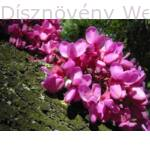 Közönséges júdásfa virág, kérgen