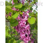 Közönséges júdásfa virág, levél