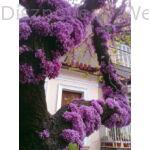 Közönséges júdásfa virágzás törzsön