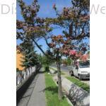 Díszgalagonya utcafa