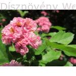 Díszgalagonya virág