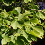 Ginkgo páfrányfenyő levelei