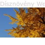 Ginkgo páfrányfenyő őszi lombszín