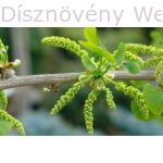 Ginkgo páfrányfenyő porzós virágok