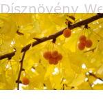 Ginkgo páfrányfenyő termések őszi levelek között