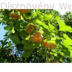 Ginkgo páfrányfenyő termések