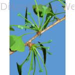 Ginkgo páfrányfenyő termős virágok