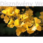 Ginkgo páfrányfenyő élénksárga levelei ősszel