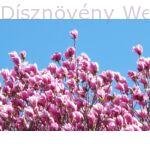 Susan liliomfa virágzásban