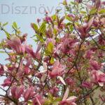 Susan liliomfa lomb virágokkal