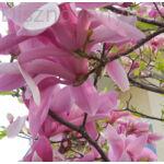 Susan liliomfa virágok
