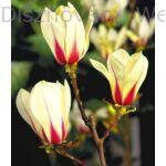 Törpe magnólia virágok
