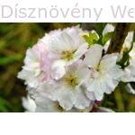 Oszlopos japán díszcseresznye virág