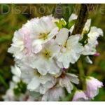 Oszlopos japán díszcseresznye virágzás