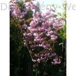 Kanzan díszcseresznye virágzás, ültetés után